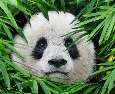 Pandas Movie Trailer 2018